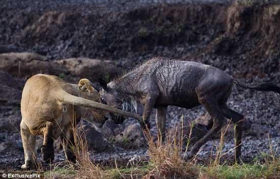 Sư tử đực trừng trị linh dương giỡn mặt vợ