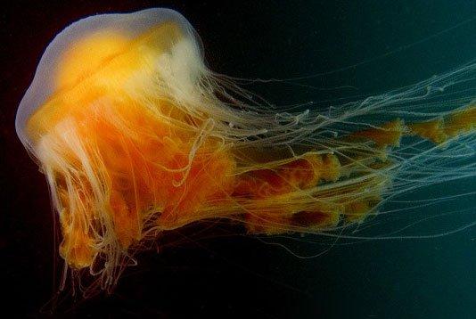 Sứa lạ đại dương sinh sản trong bể nuôi