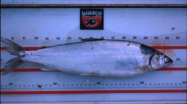 Tại sao cá có thể hồi sinh sau khi bị đóng băng ở - 32 độ C