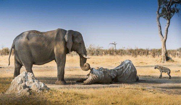 Tại sao rất khó nhìn thấy xác voi?