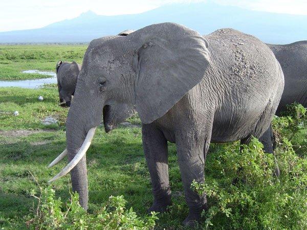 Tại sao tiếng gầm của voi vang xa được tới 10km?