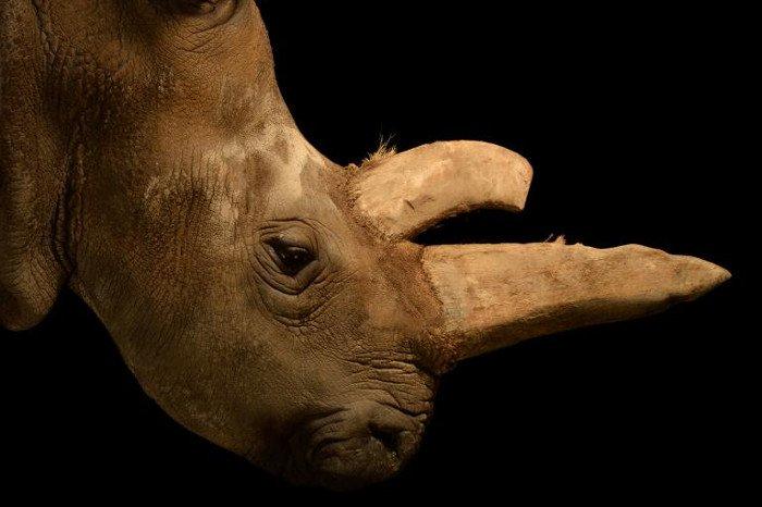 Tế bào gốc cứu tê giác trắng phương Bắc khỏi tuyệt chủng
