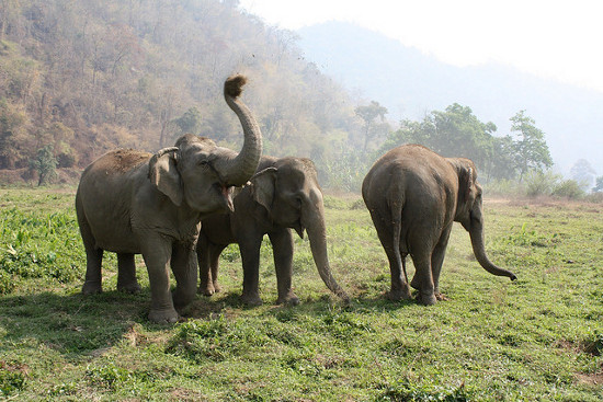 Thái Lan sẽ tăng cường bảo vệ voi