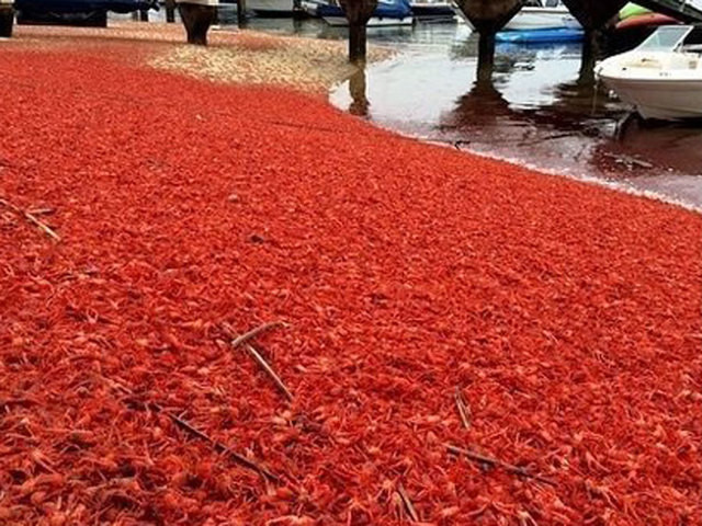 Thảm cua đỏ dày đặc chờ chết trên bãi biển California