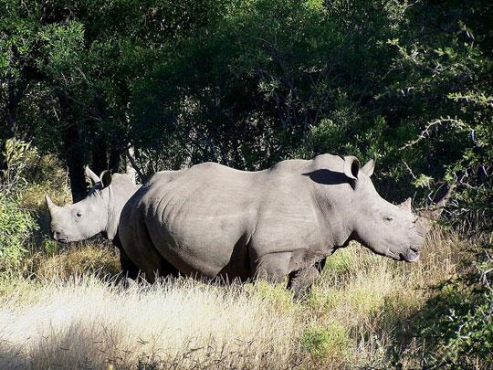 Thảm sát tê giác tại Nam Phi