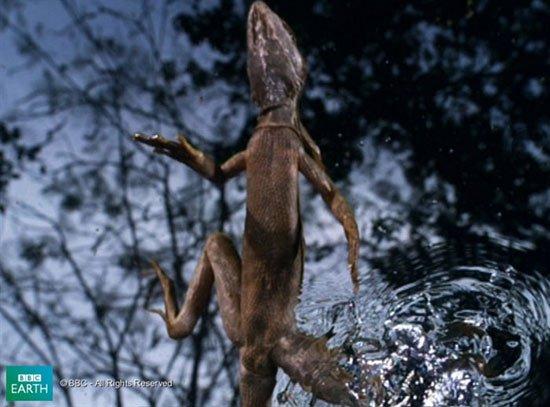 Thằn lằn khinh công trên mặt nước