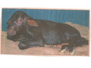 Thêm một chú nghé nhân bản chào đời tại Ấn Độ