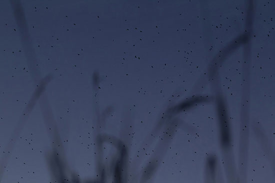 Thiên nga vươn cổ dài trên đồng cỏ xanh mướt