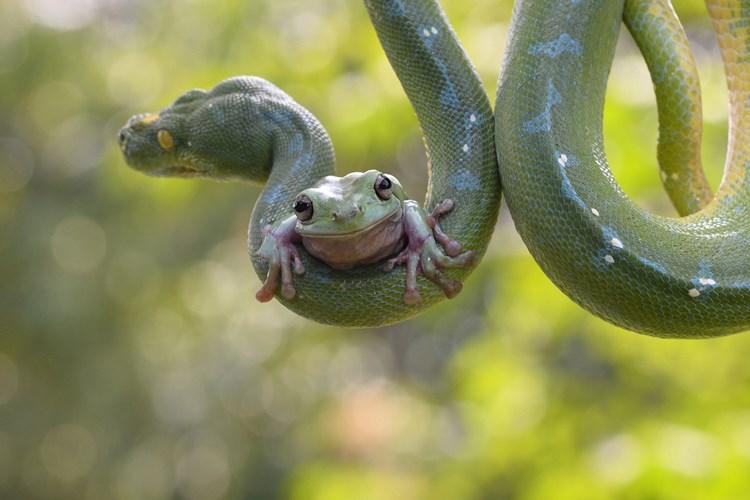 Thót tim xem ếch cả gan leo cổ trăn khổng lồ