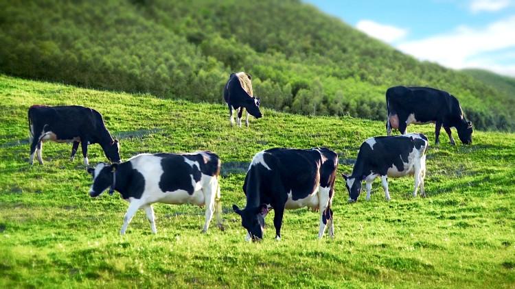 Tiêm hormone hạnh phúc cho bò giúp tạo sữa ngon và bổ hơn