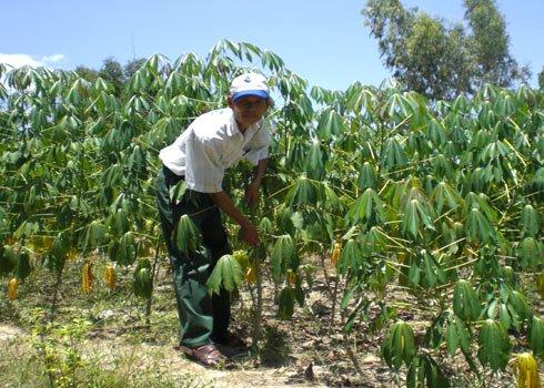 Tìm nguyên liệu cho nhà máy sản xuất Ethanol