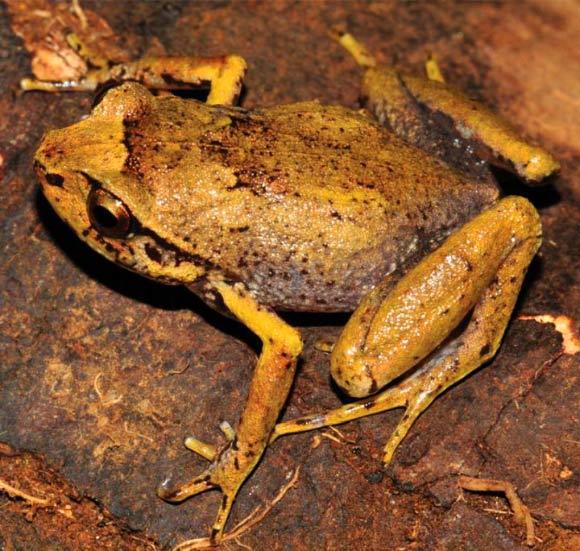 Tìm thấy ếch kim cương cực hiếm tại Madagascar
