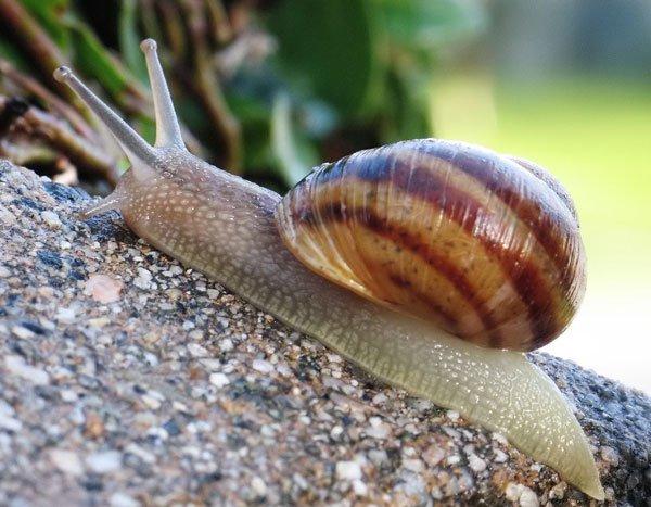 Tìm thấy hóa thạch 500 triệu năm họ hàng ốc sên