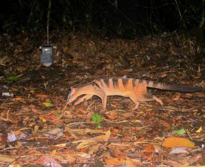 Tìm thấy loài rái cá lông mũi quý hiếm ở đảo Borneo