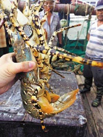 Tôm hùm bông quý hiếm lọt lưới ngư dân Trung Quốc