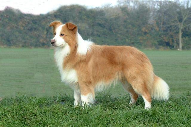 Top 10 giống chó nhanh nhất thế giới