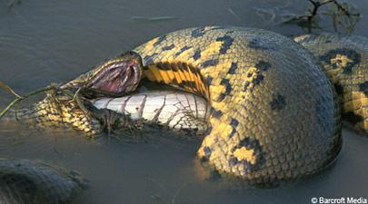 Trăn xanh Anaconda nuốt cá sấu Caiman