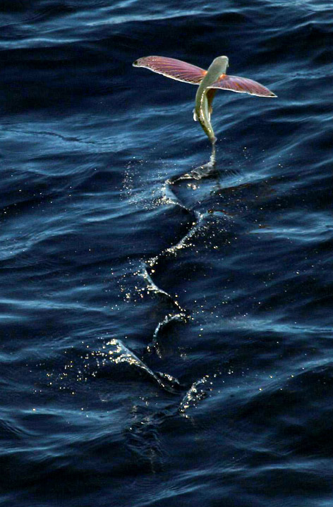 Vì sao cá chuồn biết bay