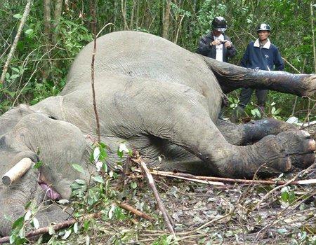 Voi ở Việt Nam sẽ tuyệt chủng trong 10 năm tới