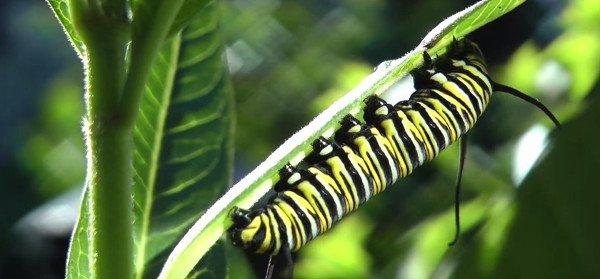 Vòng đời của bướm vua