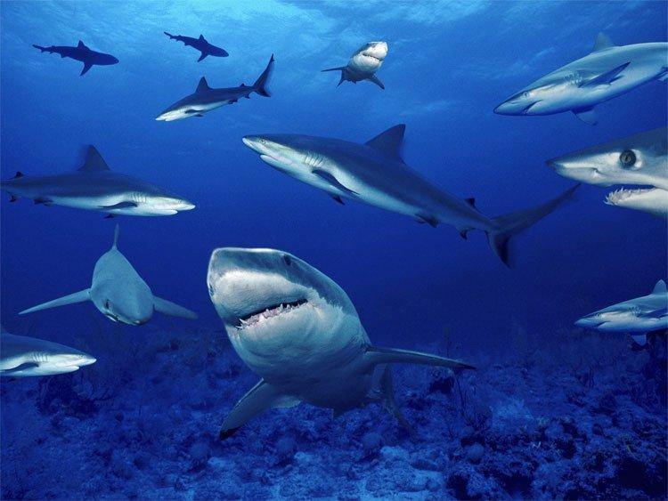Vùng biển đông cá mập nhất thế giới