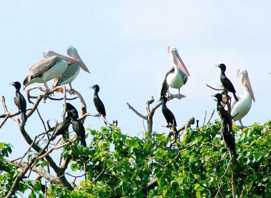 Vườn chim Bạc Liêu xuất hiện nhiều loại quý hiếm