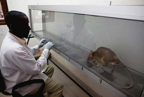 Xem các 'chiến binh' chuột dò mìn
