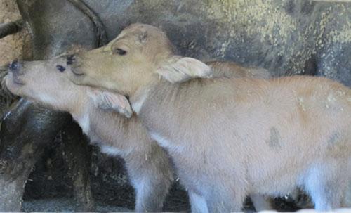 Xôn xao trâu mẹ sinh 2 con nghé