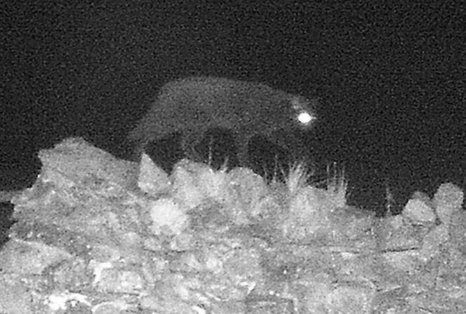 'Quái vật Cumbria lần đầu tiên bị bắt gặp trên máy ảnh hồng ngoại