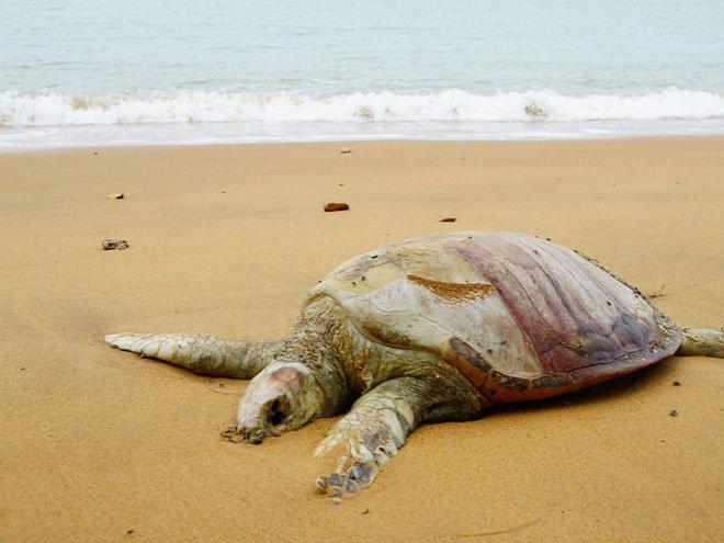 Báo động khẩn: Hơn 60% loài rùa trên hành tinh sắp bị tuyệt chủng
