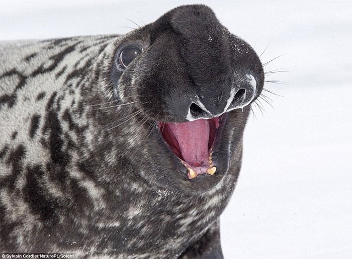 Bí quyết để tồn tại trước tự nhiên hung hiểm của hải cẩu đội mũ