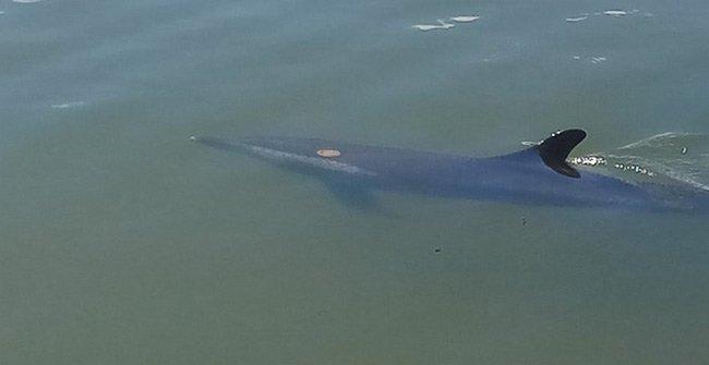 Cá heo bị thương bơi lạc vào sông ở Hội An