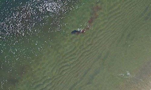 Cá mập trắng xé xác hải cẩu, nhuộm đỏ nước biển