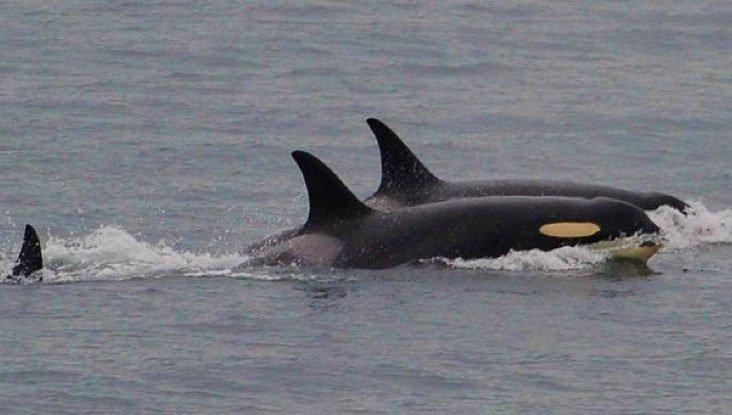 Cá voi sát thủ cuối cùng đã chịu bỏ xác con sau 17 ngày lênh đênh trên đại dương