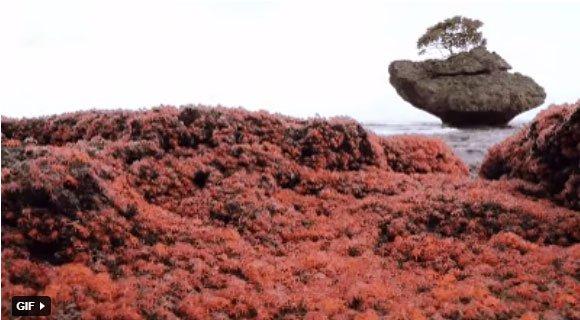 Cách các nhà khoa học bảo vệ cua đỏ đảo Giáng Sinh khi chúng đang lâm nguy