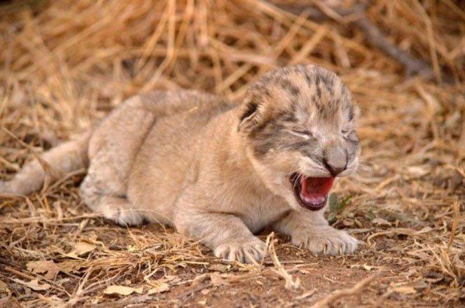 Cận cảnh 2 sư tử con đầu tiên trên thế giới được sinh ra trong ống nghiệm