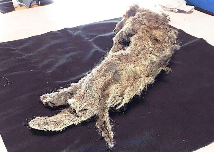 Cận cảnh xác ướp sư tử nguyên vẹn 50.000 năm ở Siberia
