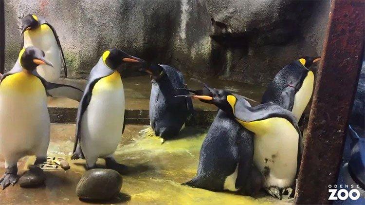 Cặp cánh cụt đồng tính âm mưu bắt cóc cánh cụt con về nuôi