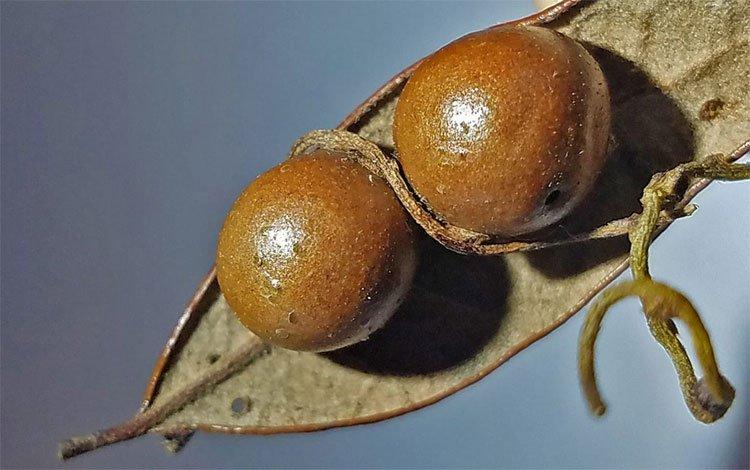 Cây leo tử thần biến ong bắp cày thành xác ướp