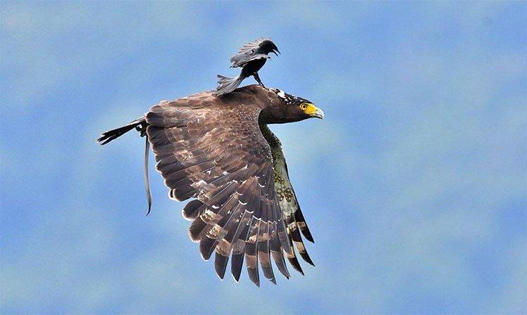 Chèo bẻo cưỡi chim săn mồi trên không