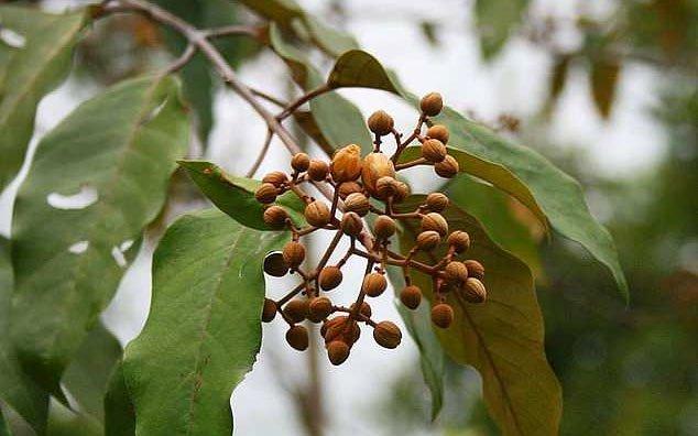 Chiết xuất từ lá cây Vismia baccifera chữa khỏi ung thư gan