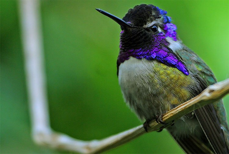 """Chim ruồi trống dùng """"mánh khóe"""" để tán tỉnh bạn tình"""