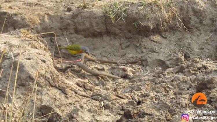 Choáng trước cảnh chú chim nhỏ bẻ làm thịt rắn độc
