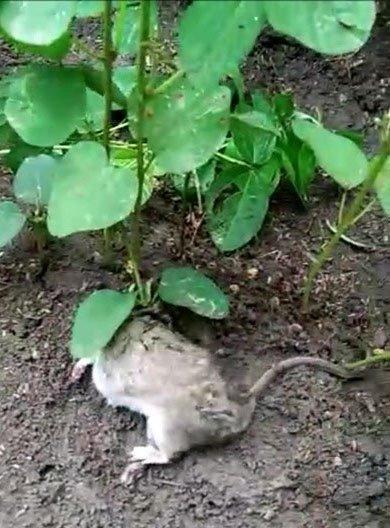Chuột sống 40 ngày với cây mọc trên lưng