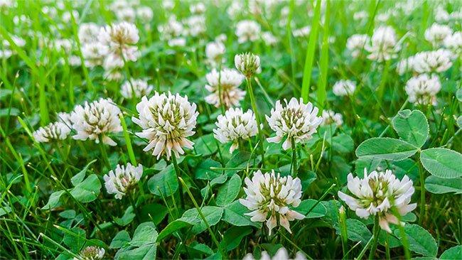 Cỏ ba lá hoa trắng - Loài cây dại hay bí ẩn về sự tiến hóa?
