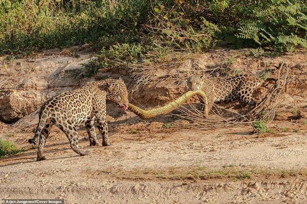 Cùng ngậm xác anaconda dài 4,8m qua sông, khi lên bờ báo con có hành động trở mặt