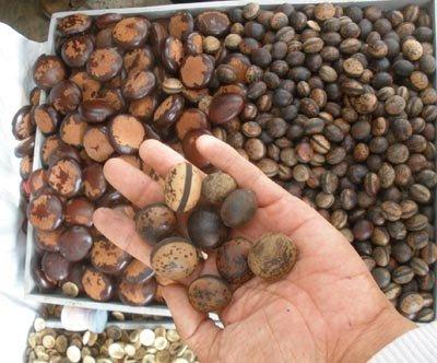Đổ xô đi mua đậu Lào hút nọc độc, chuyên gia nói cẩn thận kẻo tiền mất tật mang