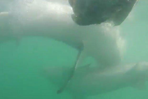 """Đớp trượt mồi, cá mập trắng bất ngờ quay sang """"ăn thịt"""" đồng loại"""