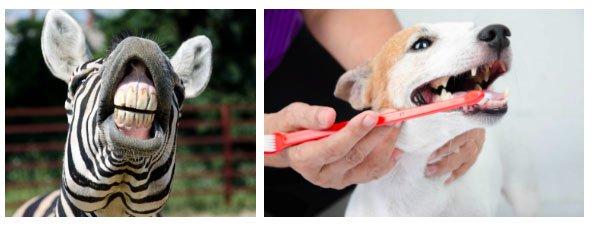 Dù chẳng bao giờ đánh răng nhưng bạn có nghe thấy loài động vật bị sâu răng chưa?