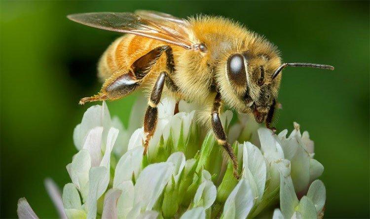 Dùng nọc độc của ong mật chữa viêm da dị ứng